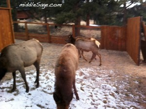 elk in yard