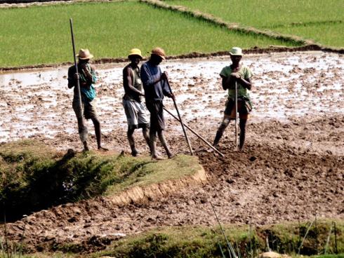 Accès à la riziculture : Hausse du nombre des ménages acquéreurs
