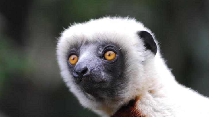 Pr Jonah Ratsimbazafy : Crainte que nos lémuriens deviennent des porteurs sains de la Covid-19