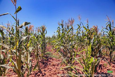 Filière maïs : Hausse de la production à Mampikony
