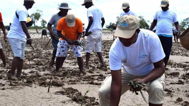 Forêt de mangroves :50000 pièces de propagules et plantules plantées à Kimony
