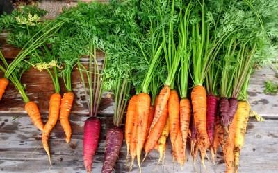 Huile essentielle, végétale, hydrolat…la carotte dans tous ses états !