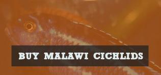 buy-malawi-cichlids