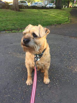 A Border Terrier on a Lead