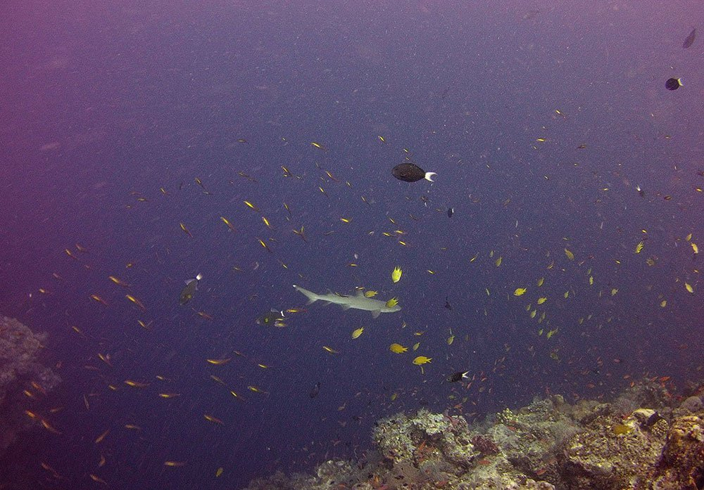 I was in Sipadan to dive with the big kids. While I knew that would include sharks, it was the little triggerfish that scared me upon arrival.