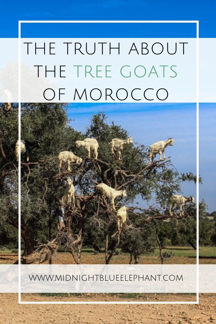 Ever wanted to see the famous goats in trees in Morocco? Me too, unfortunately I walked into a big tourist trap and unhappy goats. The truth behind the argan tree goats. #morocco #goats #treegoats #argantrees #arganoil #argan