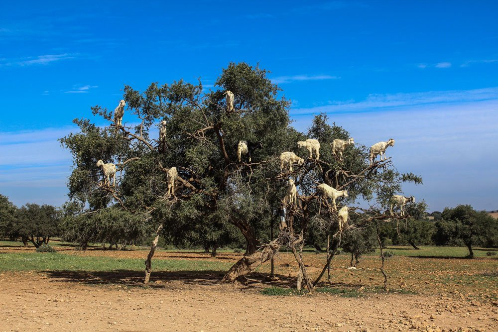 Ever wanted to see the famous tree goats in Morocco? Me too, unfortunately I walked into a big tourist trap and unhappy goats!