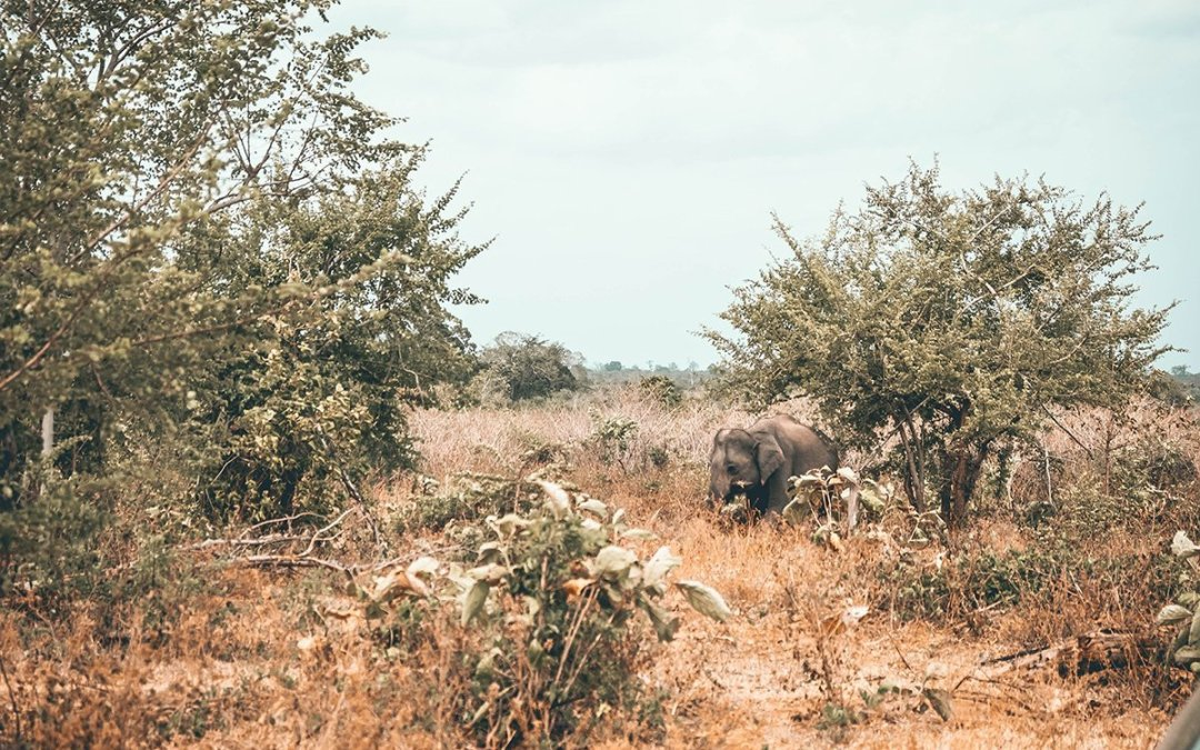 Sri Lanka Safari –  Where to See Elephants in the wild.