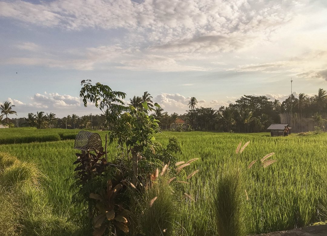 Bali rice paddies during sunset