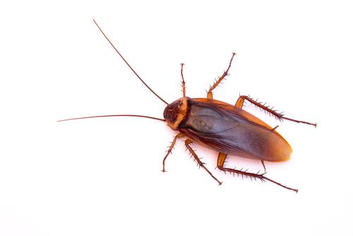 cockroach treatment memphis