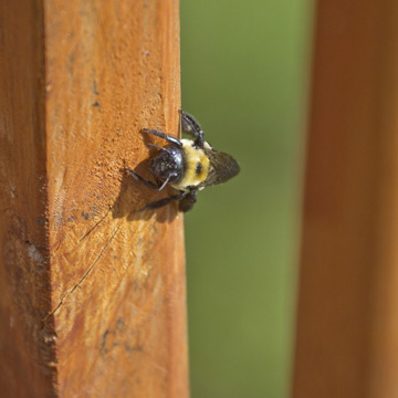 get the scoop on carpenter bees