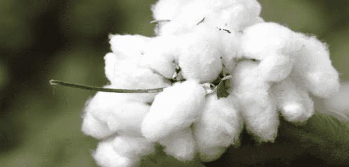miedo a las bolas de algodon