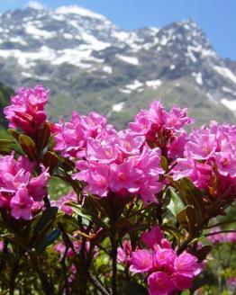 miel rhododendron, rhododendron, miel de montagne, miel de haute montagne, miel des pyrenees