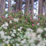 rhododendron, miel de rhododendron, miel rhododendron, miel de montagne