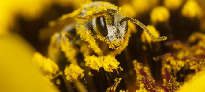 Bienfaits du pollen
