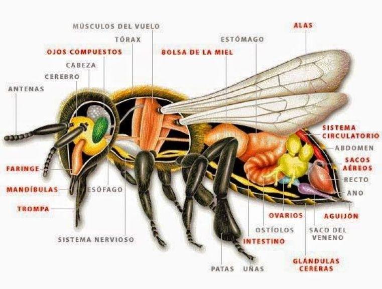 partes-internas-abeja