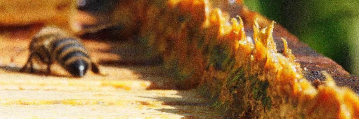 propolis natural