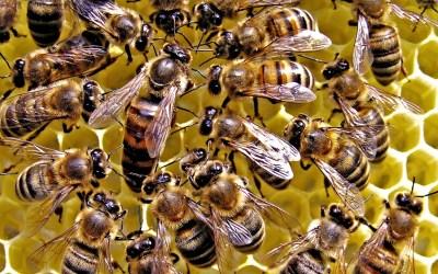 Le api … patrimonio mondiale da salvaguardare