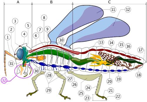 Schema anatomico di un insetto generico