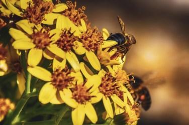 Abejas ibéricas en en flores amarillas