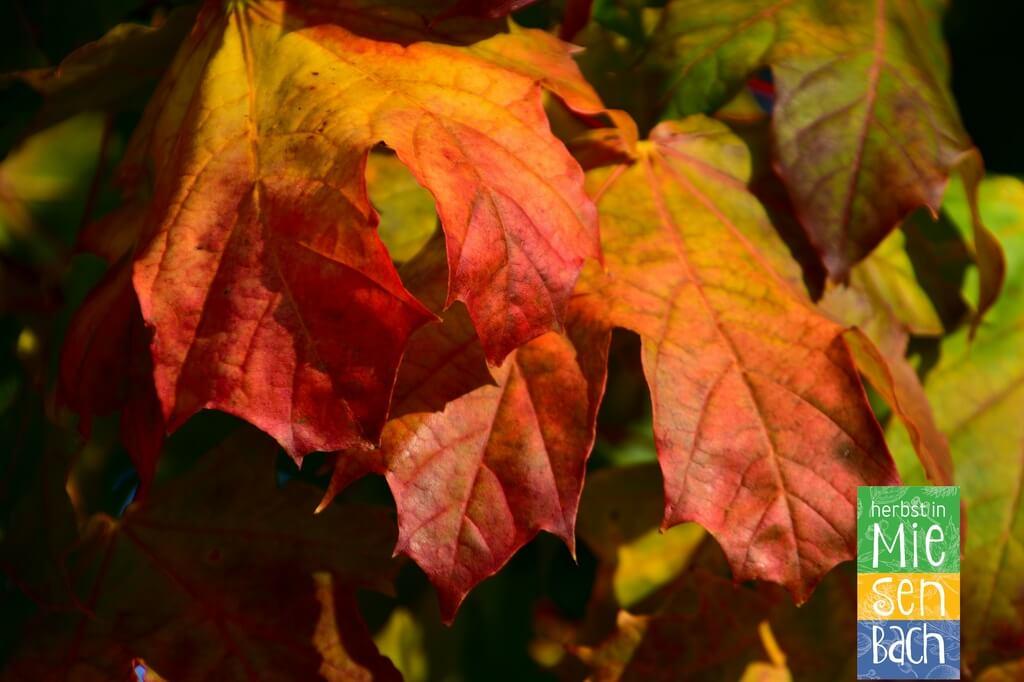 Herbst in Miesenbach (6)