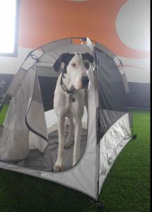 Great Dane in our Soft Sided Dog Crate