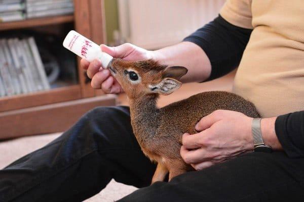 l'antilope più piccola e carina del mondo