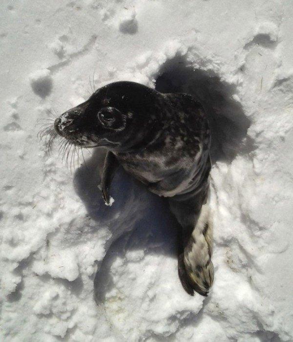 cucciolo di foca si perde nella foresta