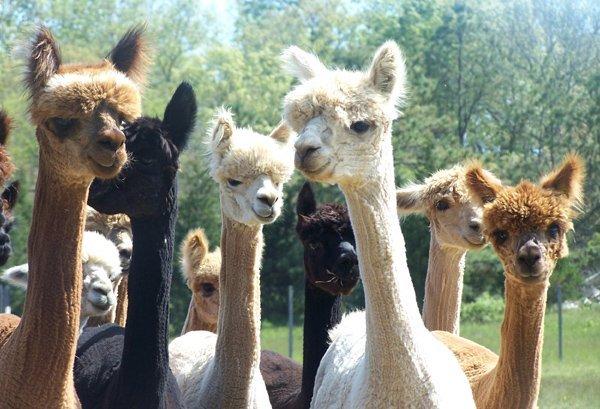 Alpaca, la stagione della tosatura è iniziata [Foto]
