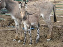 Ippo metà zebra metà asino