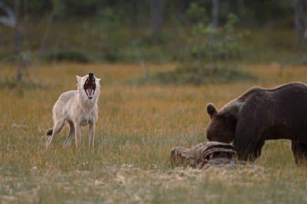 orso e lupa