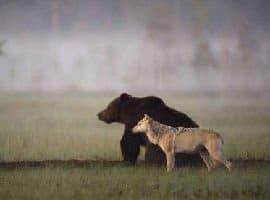 Ecco l'amicizia tra l'orso e la lupa