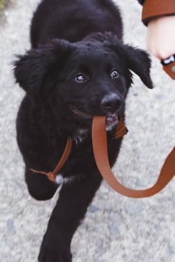 black dog with red leash in its mouth