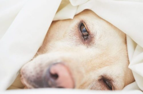 Dog looking sad under covers