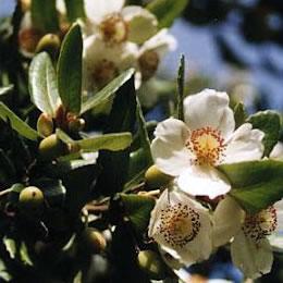 Flor de Ulmo