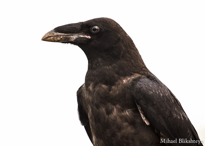 Young Russian Crow