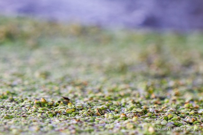 Tiny green plants on the surface of a freshwater pond