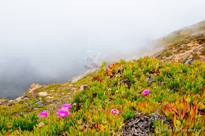 Blooming wildflowers on the northern California coast enveloped in fog