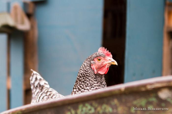 Hen sitting in a farm cart