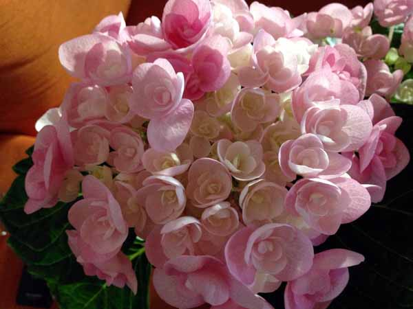 Voi kunpa kukkisi tällee pitempäänkin... (pelkään että se ei kauaa kuki...)