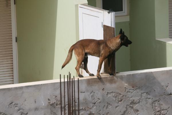 Epäilen että tää koira saattoi yökaudet haukkua, kun se asui hotellin vieressä ja kokonsa puolesta olisi sopiva haukkuja.