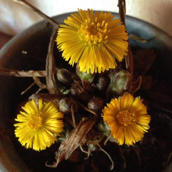 Isimies ruukutti ja toi eilen sisälle leskenlehden. Takan reunuksella ei kauaa aikaa mennyt, kun kolme ekaa kukkaa jo aukesi. :)