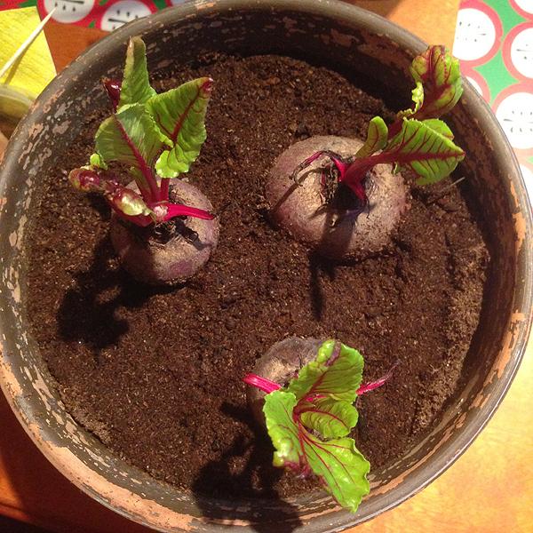 Laitoin tässä yksi päivä kolme punajuurta multaan. Ostettiin kaupasta kolme itänyttä punajuurta ja iskin ne kasvamaan. Ei ne kai pitkäaikaisia kasveja ole, mutta muutamaksi viikoksi iloa silmälle. Ihanan pirtsakoita!