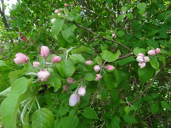 Vanha iso omenapuu aloittelee kukintaansa.