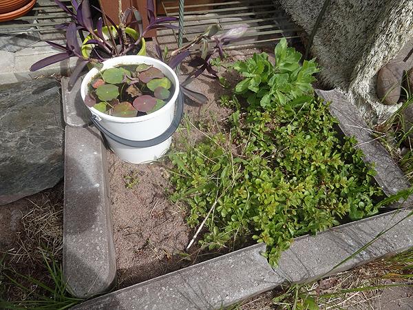 Kuivahko kukkamaa :) Ämpärissä kasvaa siemenestä kasvatettuja lootuksia.