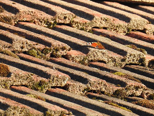 Neitoperhonen otti aurinkoa yhden talon katolla. Siis marraskuun neljäs päivä...!