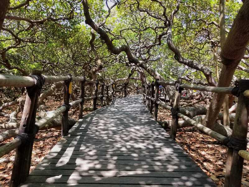 Pirangi heeft de grootste Cashewboom van de wereld