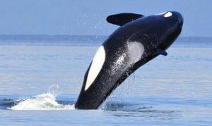 Walvis spotten Orca