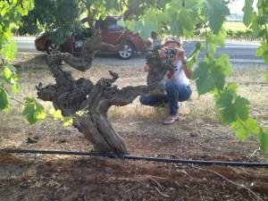 ancestor vine barossa