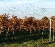 vogels in wijngaard2